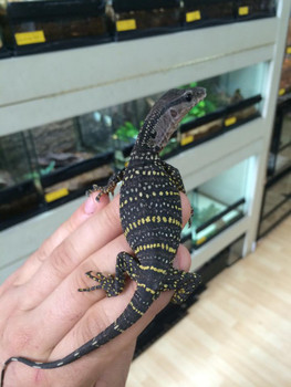 Baby Rough Neck Monitor for sale | Snakes at Sunset