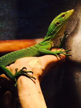 Adult Green Tree Monitors for sale