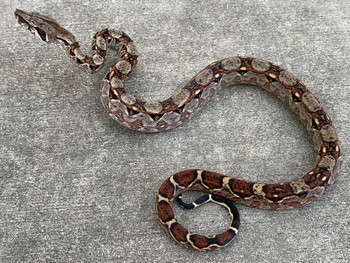 Nicaraguan Dwarf Boa for sale | Snakes at Sunset
