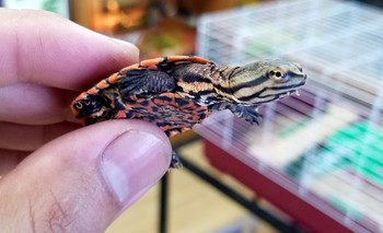 Geoffreys Side Neck Turtle for sale | Snakes at Sunset