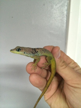 Barbados Anoles for sale