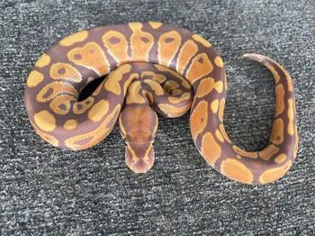 ULTRAMEL Ball Python for sale | Snakes at Sunset