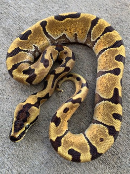 Super Enchi Ball Pythons for sale | Snakes at Sunset