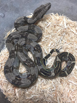 Longicauda Boas for sale (Boa constrictor longicauda)