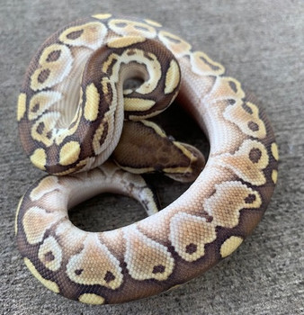 Butter Ball pythons for sale | Snakes at Sunset