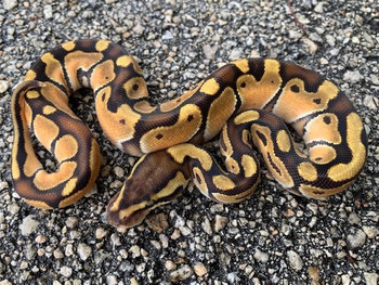 Enchi Mocha Ball python for sale | Snakes at Sunset