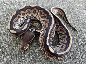 Cinnamon Ball Pythons for sale (Python regius)