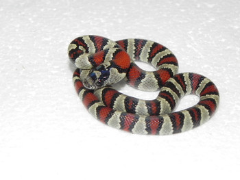 Thayeri Kingsnakes for sale