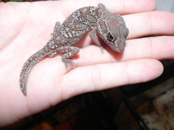 Pictus Geckos for sale