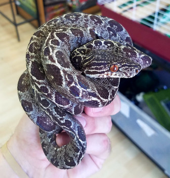 Garden Phase Amazon Tree Boas for sale (Corralus hortulanus) - Adult