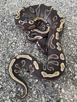 GHI Mojave Ball Pythons for sale | Snakes at Sunset