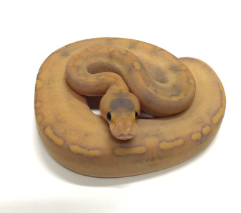 Mimosa Ball Python for sale | Snakes at Sunset