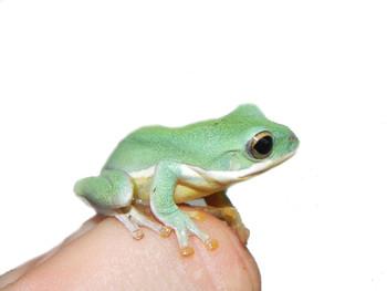 Blue Webbed Gliding Frog for sale