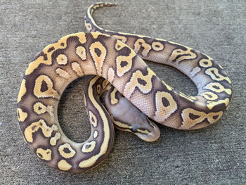 Pastel Mojave Ghost Ball Python for sale | Snakes at Sunset