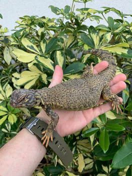 Dispar Uromastyx for Sale | Snakes at Sunset