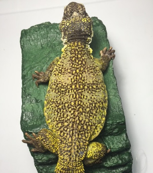 Morrocan Uromastyx for sale  | Snakes at Sunset