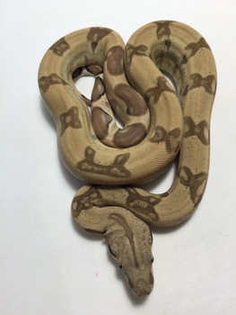 Ghost Boa Constrictor for sale | Snakes at Sunset
