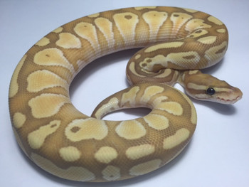 Coral Glow Butter Ball Python for sale | Snakes at sunset