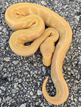 Albino Pinstripe Ball Python for sale | Snakes at Sunset