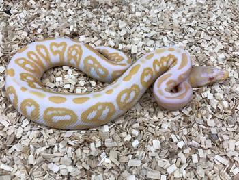 Albino Black Pastel Ball Python for sale (Python regius)