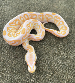 Albino Black Pastel Ball Python for sale   Snakes at Sunset