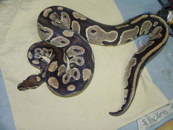 Normal Ball Python Pythons - WE NEED HOMES!