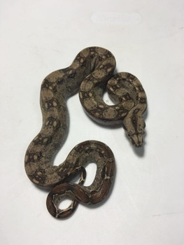 Mexican Dwarf Boas for sale | Snakes at Sunset