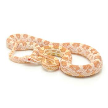 Butter Corn Snake for sale | Snakes at Sunset