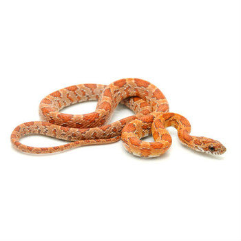 Sunkissed Corn Snakes for sale | Snakes at Sunset