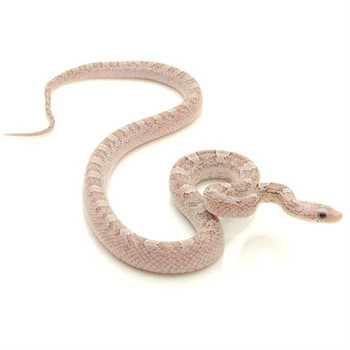 Silver Queen Blood Red Corn Snake for sale | Snakes at Sunset