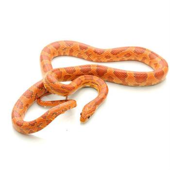 Ultramel Corn Snake for sale | Snakes at Sunset