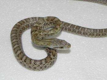 Japanese Rat Snakes for Sale
