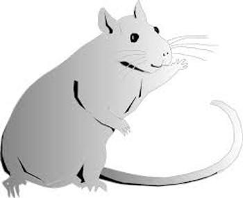 Jumbo Rat 5 Pack (275-500g)