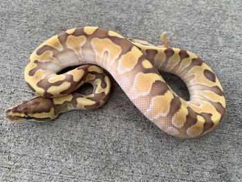 Butter Enchi Ball Python for sale