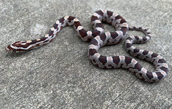 Corn Snakes for sale | Snakes at Sunset
