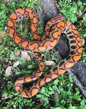 Larger Brazilian Rainbow Boas for sale | Snakes at Sunset