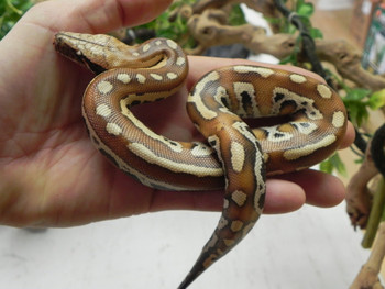 Red Blood Pythons for sale