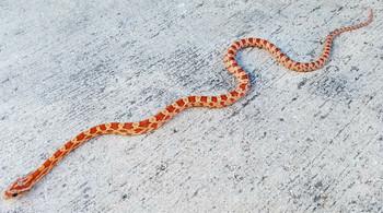 Hypo Upper Keys Corn Snake