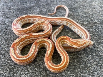 ULTRA Tessera Corn Snake for sale