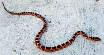Rosy Corn Snake for sale