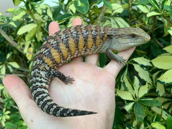 Northern Blue Tongue Skink for sale (Tiliquia scincoides intermedia)