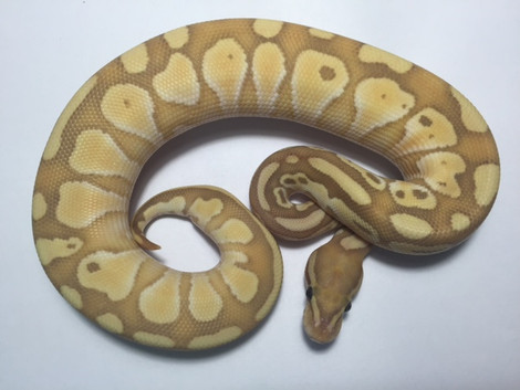 Common Online Ball Python Myths