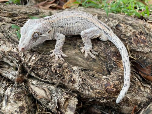 Gargoyle Gecko for sale (Rhacodactylus auriculatus)