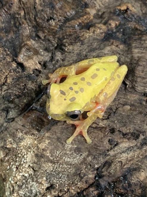 Giraffe Phase Clown Tree Frogs for sale (Hyla leucophyllata)