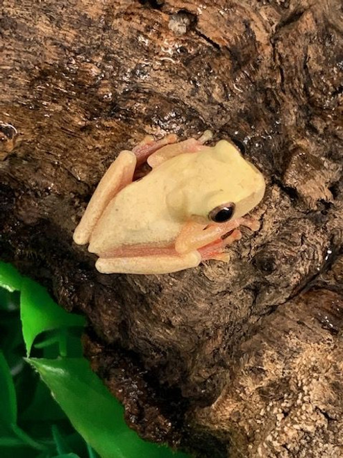 Yellow Phase Clown Tree Frogs for sale (Hyla leucophyllata)