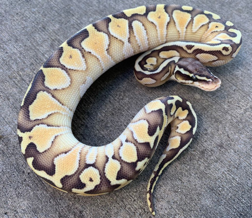 Pastel Butter for sale | Snakes at Sunset