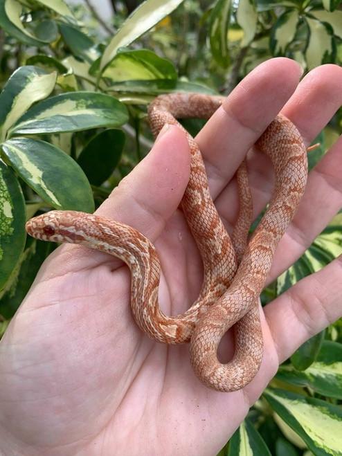 Albino Korean Rat Snake for sale