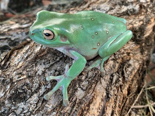 adults  Whites Tree Frog (Blue Eye Dumpy) for sale