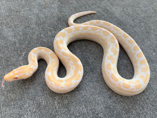 Albino Colombian Rainbow Boas for sale   Snakes at Sunset