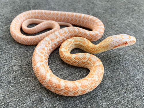 Albino Japanese Rat Snakes for Sale | Snakes at Sunset